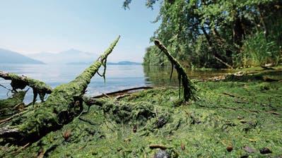 Im Gebiet Choller sind inzwischen viele Algen ans Ufer gespült worden. (Bild: Stefan Kaiser, Zug, 7. Juni 2019)