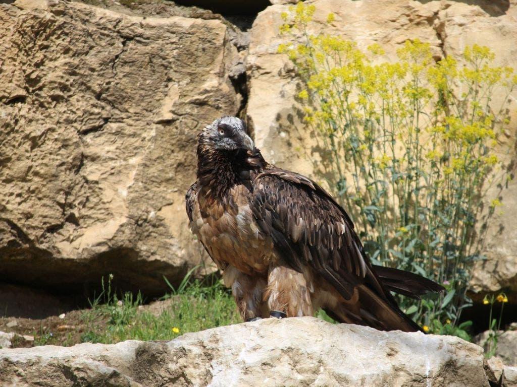 Das junge Bartgeier-Männchen lebt seit Donnerstag im Waadtländer Zoo La Garenne. (Bild: Zoo La Garenne)