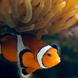 Lichtverschmutzung bedroht Fortpflanzung der Clownfische