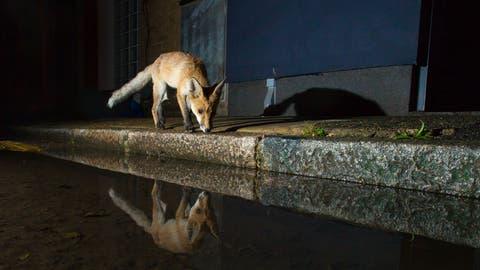 Füchse sind Allesfresser. Kleine Nagetiere, Fallobst oder Regenwürmer gehören zur Nahrung, ebenso wie Essensreste aus dem Hauskehricht. (Bild: pd)