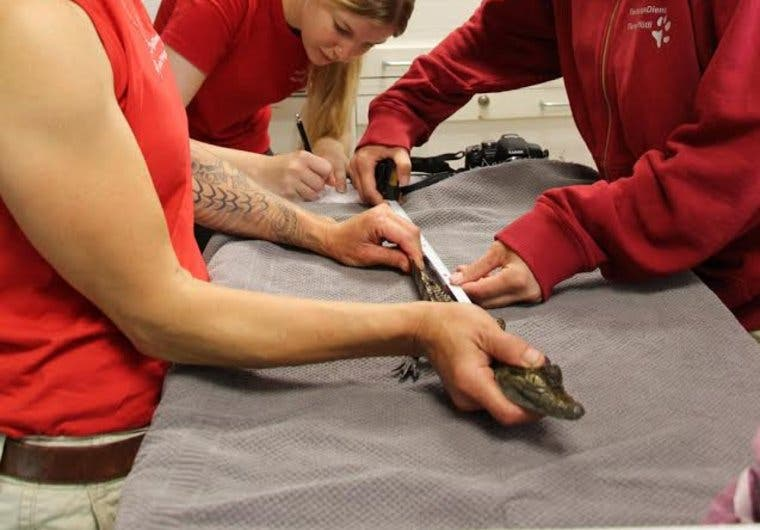 Mitarbeiter des Tierrettungsdienst messen das kleine Krokodil. (Bild: watson/tierrettungsdienst)