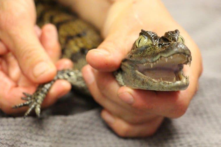 Krokodil Rümlang (Bild: watson/tierrettungsdienst)