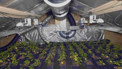 Im Dachgeschoss wurden über 150 Hanfpflanzen entdeckt. (Bilder:kapo)