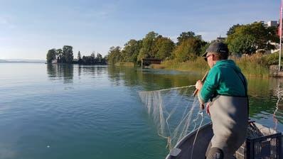 In Ufernähe wird ein Bodennetz ausgelegt. Im Unterschied zu den Netzen der Berufsfischer verfügen die verwendeten Multimaschennetze über unterschiedlichste Maschenweiten. (Foto: Pascal Vonlanthen)