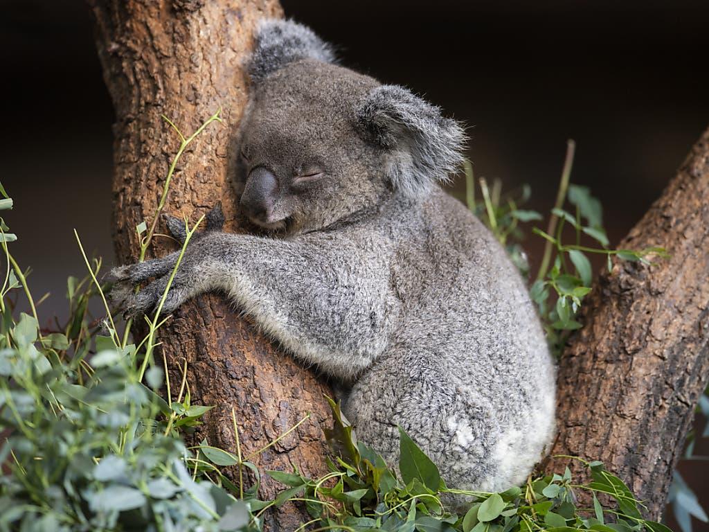 Das Koala Weibchen Maisy fühlt sich sichtlich wohl in ihrem neuen Zuhause im Zoo Zürich. (Bild: KEYSTONE/ENNIO LEANZA)