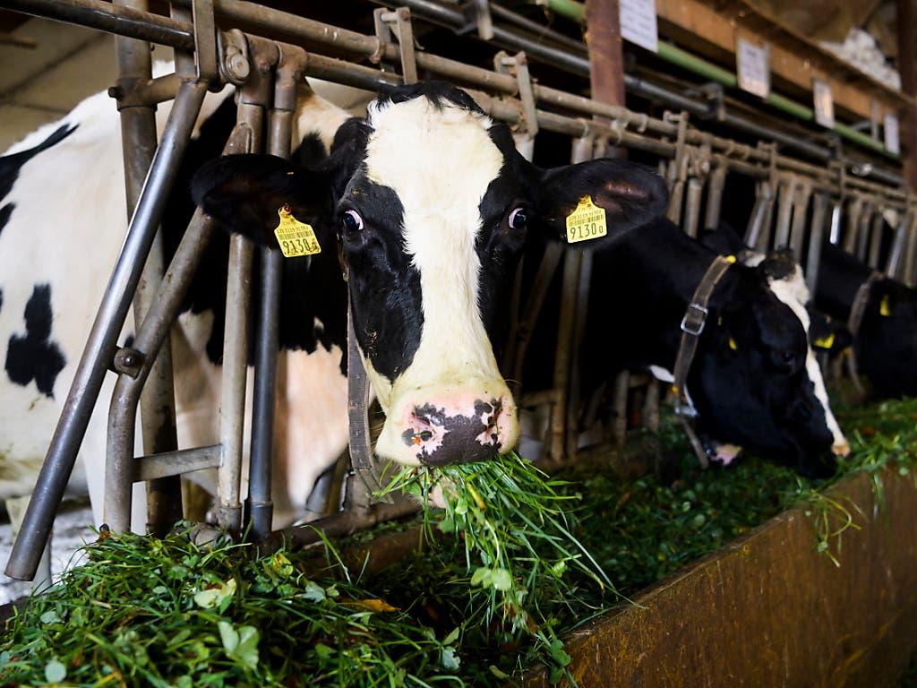 Kuh am Futtertrog in einem Stall im Kanton Freiburg. Die Menge der an Tierärzte verkauften Antibiotika hat sich in den letzten 10 Jahren halbiert. (Bild: KEYSTONE/JEAN-CHRISTOPHE BOTT)