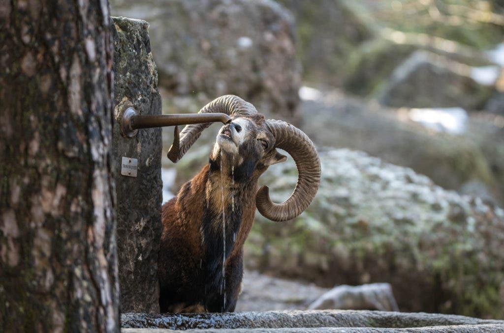 Dieses Mufflon erlaubt sich eine Erfrischung am Brunnen. (Bild: Tierpark Goldau)