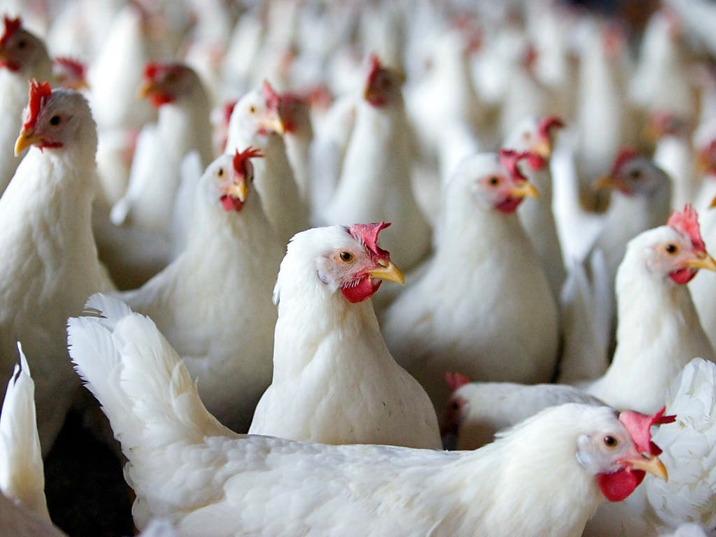 Erstmals seit Jahren haben die Antibiotika-Resistenzen in Pouletmastbetrieben 2018 abgenommen. Die Bundesbehörden werten dies als Zeichen, dass Tierärzte mittlerweile gut sensibilisiert sind für den sachgemässen Einsatz von Antibiotika. (Bild: KEYSTONE/GAETAN BALLY)