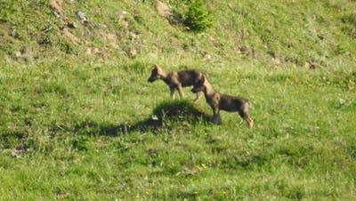 Drei junge Wölfe im Bündner Oberland bei Ilanz beobachtet