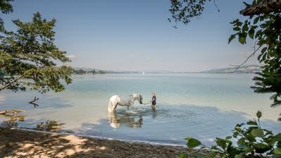 In der «Rossbadi»am Sempachersee finden auch Pferde die nötige Abkühlung. (Bild: Pius Amrein, Sempach, 16. Juli 2019)