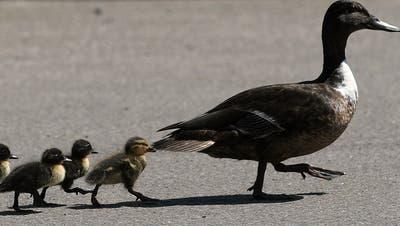 Thurgauer Polizisten retten Entenfamilie vor dem Schnellzug