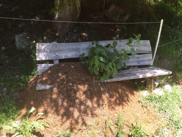 Seit Jahren sind diese Waldameisen auf dieser Bank zu Hause. (Bild: Franz Stalder, Val Bugnei, 27. Juni 2019)