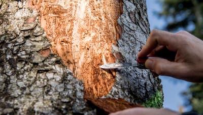 Ein vom Borkenkäfer befallener Baum. (Bild: Nadia Schärli, Rain, 22. März 2019)