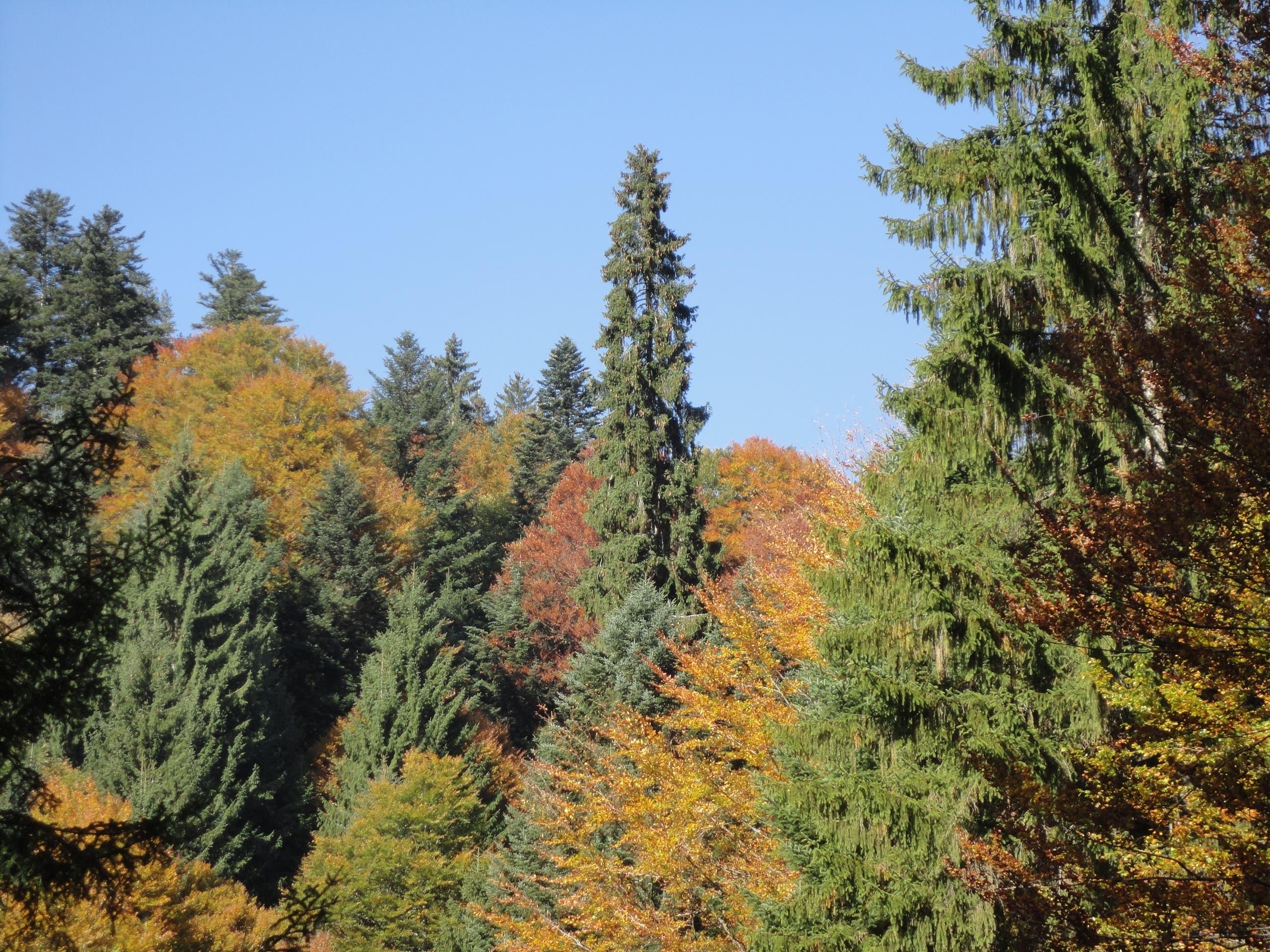 Der höchste Baum im Kanton Zug steht in Oberägeri. Die Fichte ist rund 53 Meter hoch. (Bild: PD/Amt für Wald und Wild)