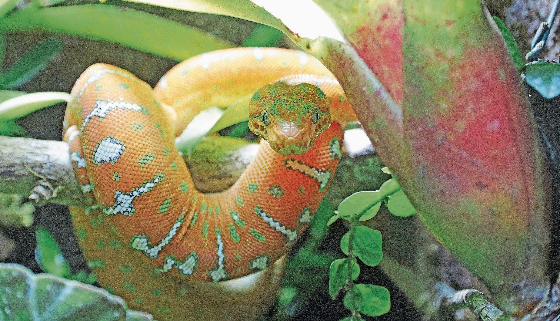 Noch ist der Grüne Hundskopfschlinger aus dem Amazonasbecken orange-rötlich gefärbt. (Bild: Benjamin Schmid)