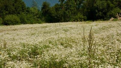Diese riesige Berufkraut-Monokultur nahe bei der Kompostieranlage in Buchs wird demnächst sachgerecht bekämpft, verspricht das Rheinunternehmen als Grundstückeigentümerin. (Bild: Heidy Beyeler)