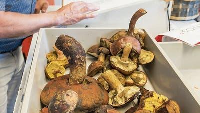Seit Anfang August gab es im Botanischen Garten schon 30 Pilzkontrollen. (Bild: Hanspeter Schiess)