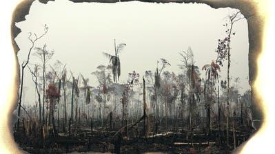 Tausende von riesigen Feuern zerstören den Regenwald im Amazonasgebiet, so beispielsweise im brasilianischen Boca do Acre. (Bilder: Reuters, Shutterstock/Montage: bgs)
