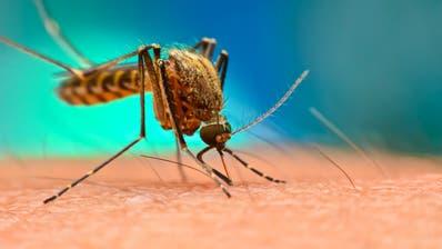Eine Utopie könnte wahr werden: Dank Genmanipulation sollen Malaria-Mücken ausgerottet werden können. (Bild: Shutterstock)
