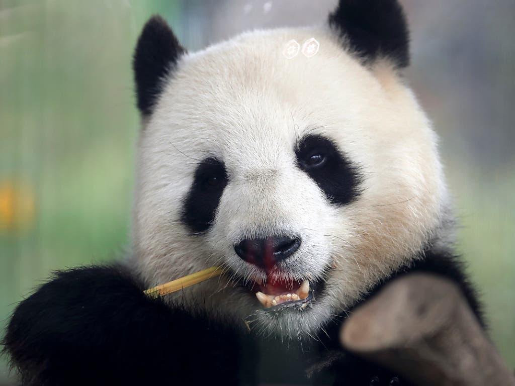 Die Pandadame Meng Meng im Berliner Zoo ist trächtig. (Bild: KEYSTONE/AP/MICHAEL SOHN)
