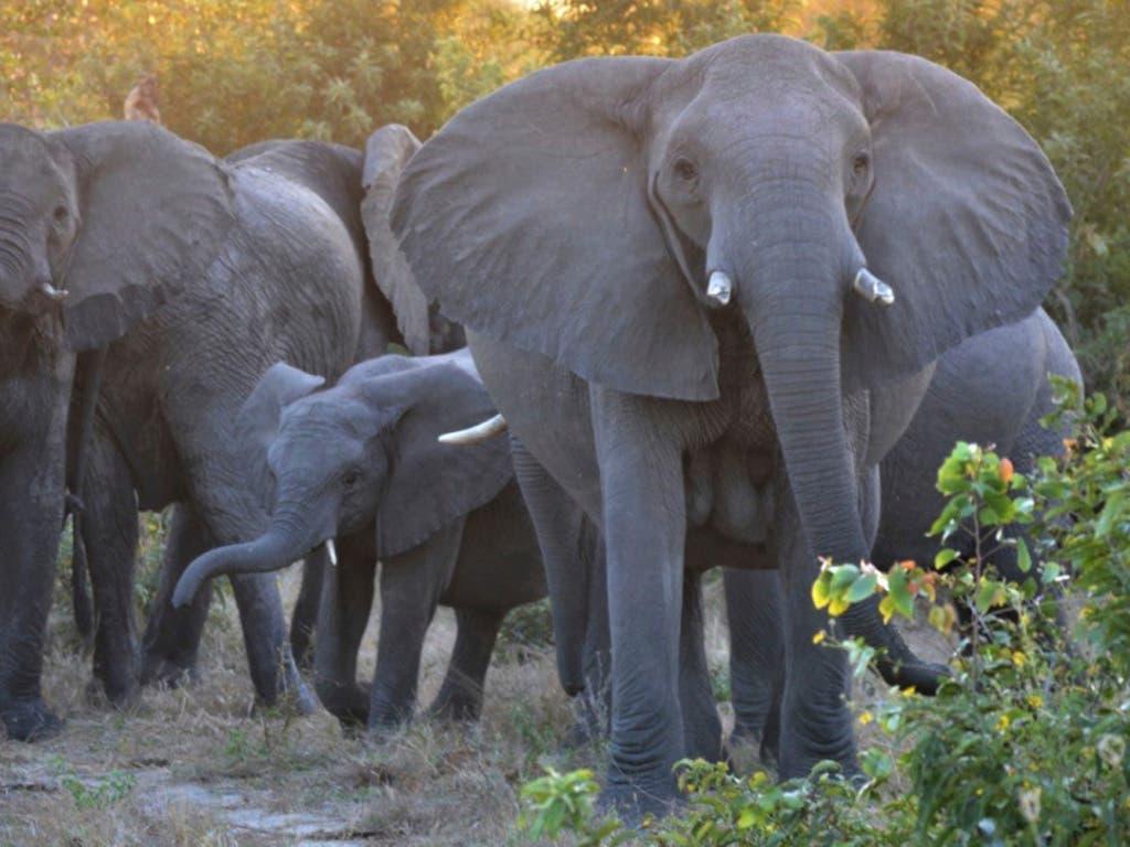 Die von Sambia, Botswana, Namibia und Simbabwe beantragte Aufweichung des seit fast 30 Jahren verbotenen Elfenbeinhandels wurde abgelehnt. (Bild: KEYSTONE/AP/KEVIN ANDRESON)