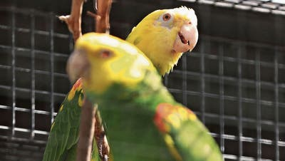 Zwei Papageien in der Zuger Voliere. (Bild: Roger Zbinden, Zug, 26. Mai 2018)