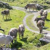 Guter Alpsommer in der W&O-Region: Genug Regen, Gras und guter Käse