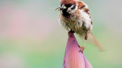 Vogel-Population in Nordamerika binnen 50 Jahren stark dezimiert