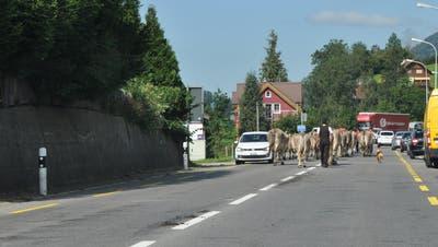 Meistens sieht man auf den Strassen, wenn Kühe darüber gelaufen sind. (Bild: Sabine Camedda)
