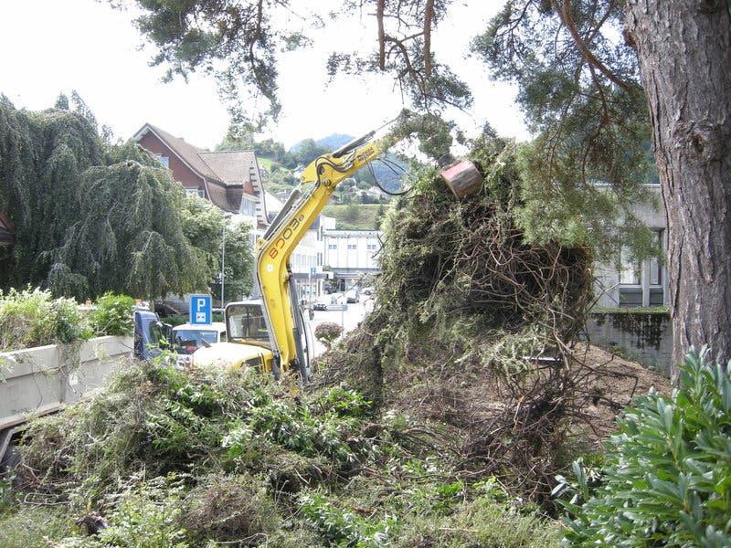 Pflanzen wie Kirschlorbeer und Cotoneaster werden neben dem Eingang der Kanti Wattwil entfernt. (Bild: PD, 10.09.2019)
