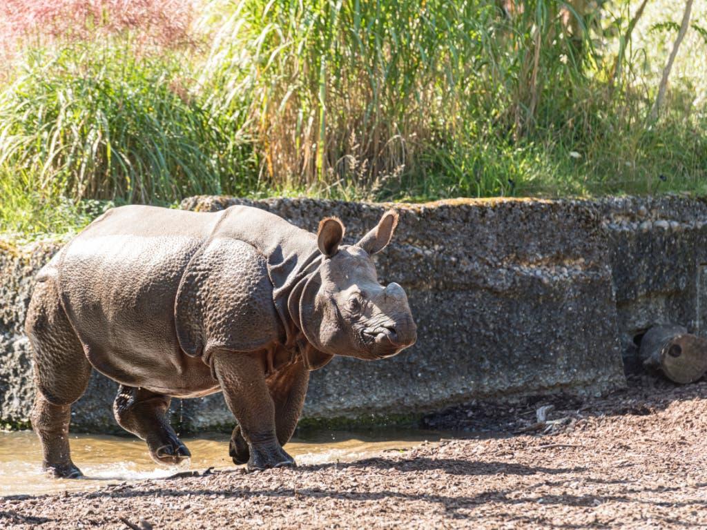 Panzernashorn-Kuh Shakti erkundet ihr neues Zuhause im Basler Zoo. (Bild: Zoo Basel (Torben Weber))