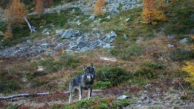 Wolf im Oberwallis (Symbolbild: Gruppe Wolf Schweiz, November 2016)