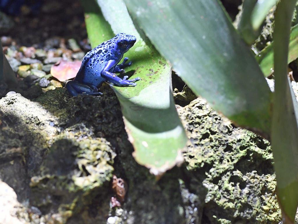 Im Zoo Zürich leben etwa ein Dutzend Blaue Pfeilgiftfrösche.