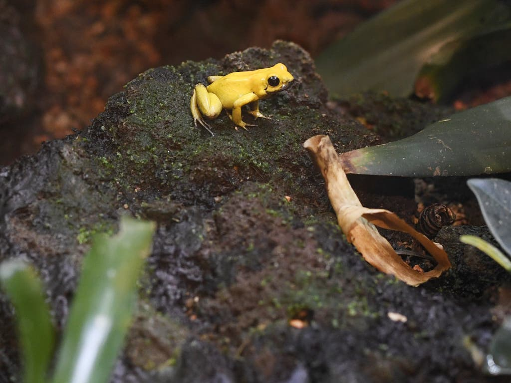 Das Blut des Goldenen Pfeilgiftfrosches benutzen Indigene für ihre Pfeile.