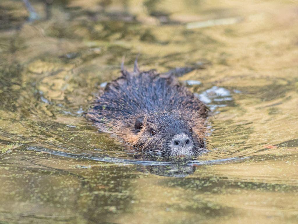 Wo früher im Basler Zolli Wölfe hin- und herwandelten, drehen neu Nutrias ihre Rund im Wasser und auf dem Land.