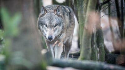 Tote Schafe bei Thundorf:Die Zeichen lassen auf einen dritten Wolf im Thurgau schliessen