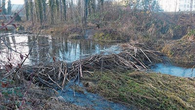 Der Biber besiedelt den Murg-Auen-Park in Frauenfeld