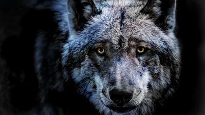 Das Wolfsmännchen M109 riss im November 2019 gleich mehrere Schafe im Appenzellerland. ((Bild: Getty/EyeEm))