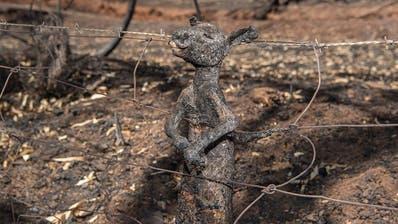 Feuer in Australien: Foto von verbranntem Känguru-Baby geht um die Welt