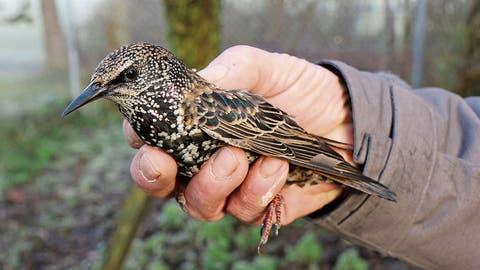Notlandung in der Wiler Vogel-Pflegestation