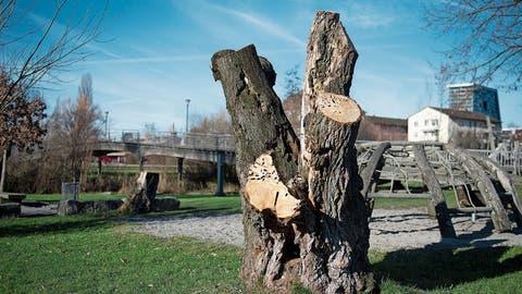 Das Fällen von Stadtzuger Bäumen ist der letzte Ausweg