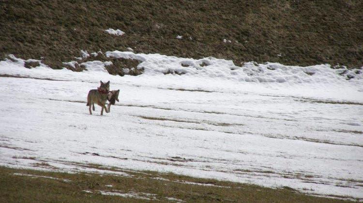 Wolfsichtungen (hier in der Leventina) werden häufiger. (Symbolbild) (Foto: Keystone SDA)