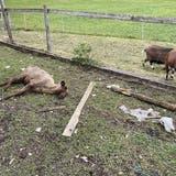 Oftringer Tierdrama: Diese Konsequenzen zieht der Kanton