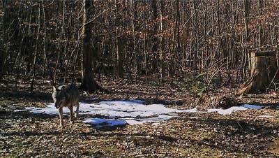 Wolf reisst drei Lämmer in Oberhof – bis zur Bestätigung vergingen über zwei Monate