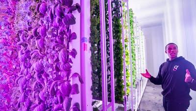 Salat aus Indoor-Gemüsefarm kommt ins Ladenregal: Nur die Roboter fehlen noch
