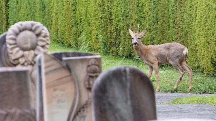 Nach Reh-Abschussplänen auf Hörnli: Tiere sind vorerst bis Mitte August sicher