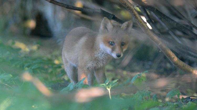 Der Fuchs als Nachbar: Mensch und Tier rücken im Limmattal immer näher zusammen