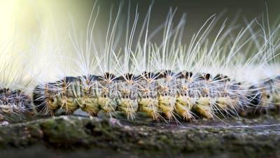 Gefährliche Raupen sind wieder unterwegs – das müssen Sie wissen