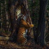 Russe ist mit sibirischem Tiger Wildlife Photographer des Jahres