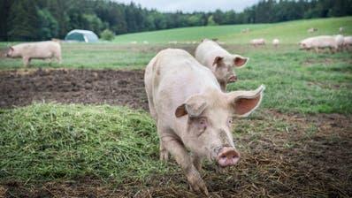 Glückliche Schweine – unglückliche Landschaft: Das Rundbogenzelt muss weg. (Bild: Andrea Stalder)